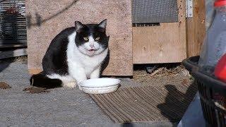 【地域猫】親心猫知らず!美味しいご飯を用意したのに食べ終わると早々に逃走!ナナ姫、夕方の投薬をバックレる。【魚くれくれ野良猫製作委員会】