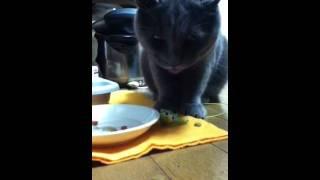 おかずを持ってくる猫 タンタン