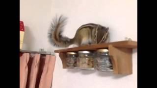 <シマリス>chipmunk カーテンレールをピョンピョン!