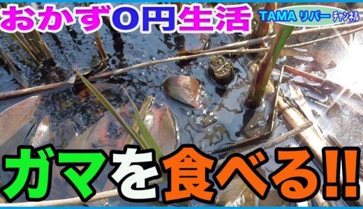 【おかず0円生活】ガマを食べる!!  新芽と地下茎