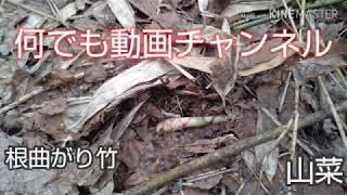 #根曲がり竹#山菜#山散策#登山#    根曲がり竹採取!!
