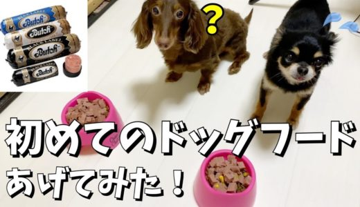 【予想外の展開】普段ご飯をよく残す愛犬に初めてブッチをあげてみた!【チワワ/ミニチュアダックスフンド】