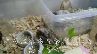 姫ウズラ餌  生後32日目  豆苗をあげてみました♪